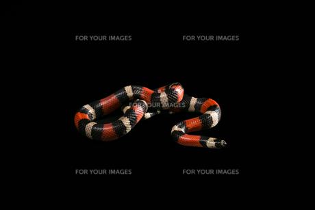 Pueblan milk snakeの写真素材 [FYI00750733]