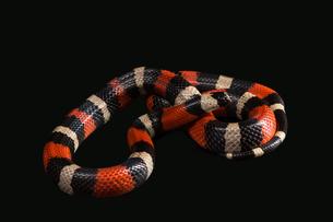 Pueblan milk snakeの写真素材 [FYI00750736]