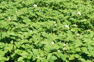 Potato plants.の写真素材 [FYI00750747]