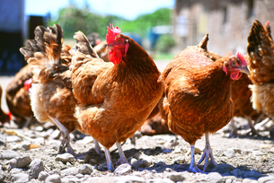 Chickens on traditional free range poultry farmの写真素材 [FYI00750917]