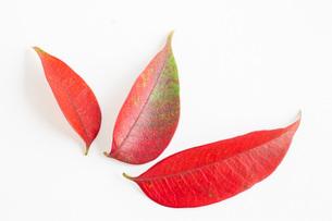 Red and orange autumn leavesの素材 [FYI00751016]