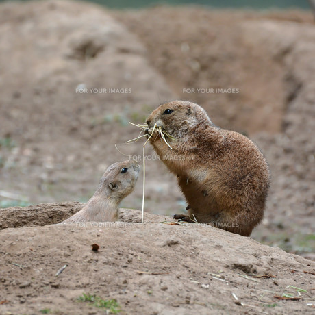 young prairie dog with his motherの写真素材 [FYI00751029]