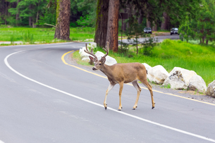 Deer crossing the street.の写真素材 [FYI00751155]