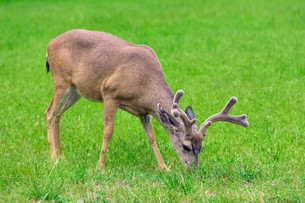 Deer eating grass on green meadowの写真素材 [FYI00751156]