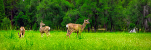 Deers on green meadow.の写真素材 [FYI00751161]