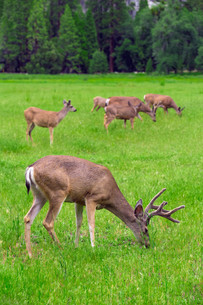 Deers on green meadow.の写真素材 [FYI00751167]