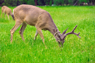 Deer eating grass on green meadowの写真素材 [FYI00751174]