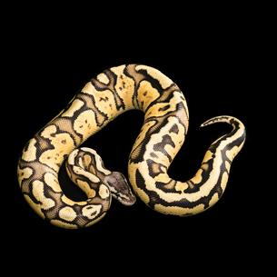 Female Ball Python. Firefly Morph or Mutationの写真素材 [FYI00751537]