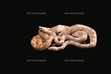 Trimeresurus puniceusの写真素材 [FYI00751584]