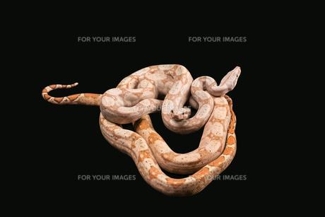 Trimeresurus puniceusの写真素材 [FYI00751592]