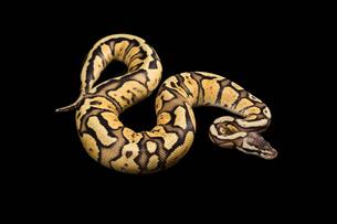 Female Ball Python. Firefly Morph or Mutationの写真素材 [FYI00751596]