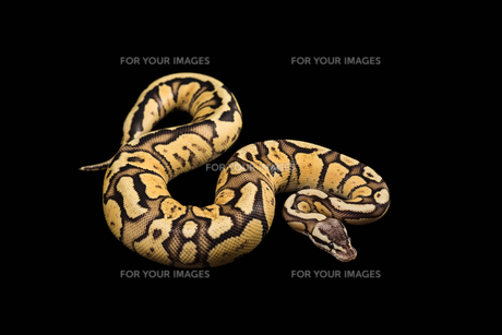 Female Ball Python. Firefly Morph or Mutationの写真素材 [FYI00751601]