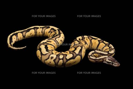 Female Ball Python. Firefly Morph or Mutationの写真素材 [FYI00751604]