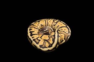 Female Ball Python. Firefly Morph or Mutationの写真素材 [FYI00751605]