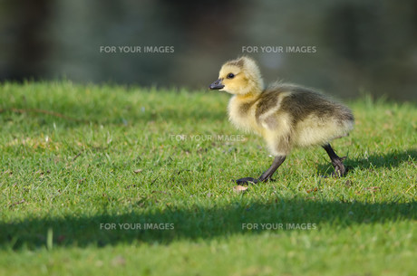 Adorable Little Gosling Looking for Food in the Grassの写真素材 [FYI00751790]