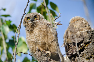 Young Owlet High In Its Nest Looking Across The Tree Topsの写真素材 [FYI00751805]