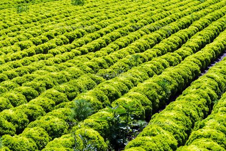 lettuce lollo biancoの写真素材 [FYI00751994]