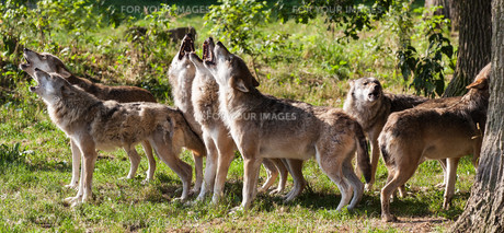 if wolves howlの写真素材 [FYI00752182]