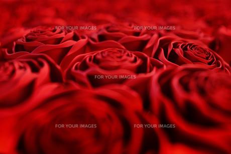 rosesの写真素材 [FYI00752502]
