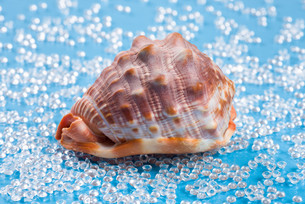 big reddish shell on a freshwater like blue backgroundの写真素材 [FYI00752891]