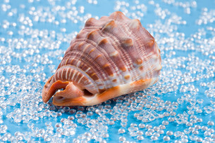 big reddish shell on a freshwater like blue backgroundの写真素材 [FYI00752892]