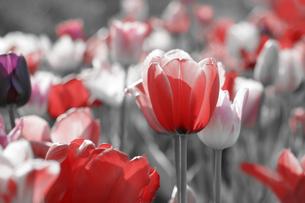 tulips gray conceptの素材 [FYI00753040]