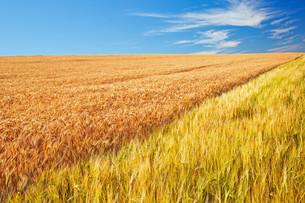 barley and rye fieldの素材 [FYI00753072]