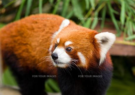 Curious red pandaの素材 [FYI00753167]