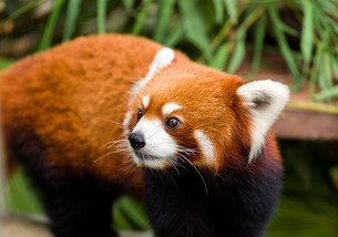 Curious red pandaの写真素材 [FYI00753167]