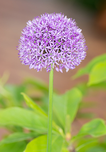 Purple Giant Onion flowerの写真素材 [FYI00753291]