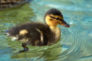 beautiful ducklings with sparkling water dropsの写真素材 [FYI00753599]