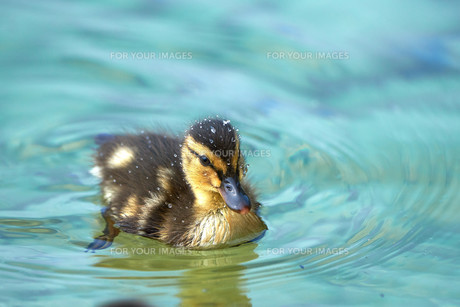 beautiful ducklings with sparkling water dropsの写真素材 [FYI00753606]