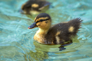 beautiful ducklings with sparkling water dropsの写真素材 [FYI00753607]