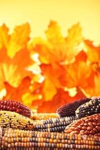 various corn cobsの写真素材 [FYI00753984]