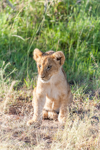lion cub on the plains Kenyaの写真素材 [FYI00754091]