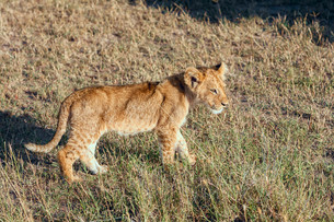 lion cub on the plains Kenyaの写真素材 [FYI00754094]