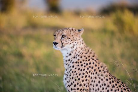 cheetahの写真素材 [FYI00754097]