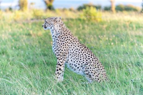 cheetahの写真素材 [FYI00754100]