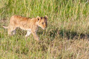 lion cub on the plains Kenyaの写真素材 [FYI00754101]