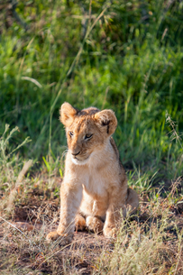 lion cub on the plains Kenyaの写真素材 [FYI00754103]
