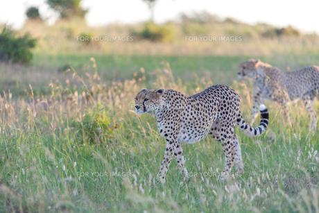 cheetahの写真素材 [FYI00754108]