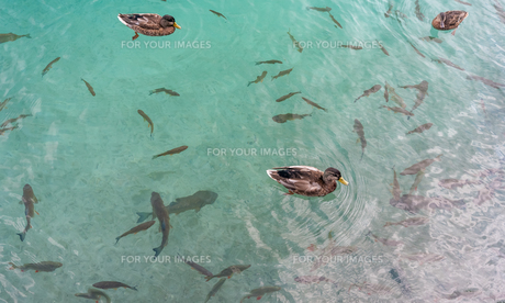 Small fish in lake, national park Plitviceの写真素材 [FYI00754345]
