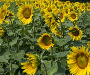 summer field of bright sunflowersの写真素材 [FYI00754367]