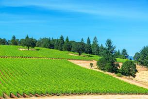 Vineyard and Pine Treesの写真素材 [FYI00754394]