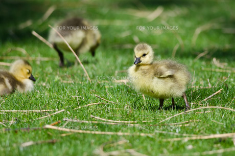 Adorable Little Gosling Looking for Food in the Green Grassの写真素材 [FYI00754403]