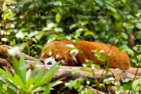 Sleepy Red Pandaの素材 [FYI00754783]