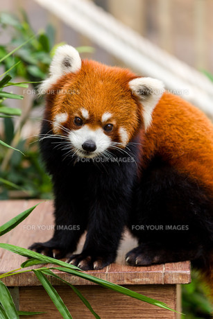 Adorable Red Pandaの素材 [FYI00754786]