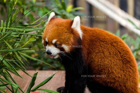 Red panda in zooの素材 [FYI00754787]