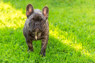 cute domestic dog brindle French Bulldog breedの写真素材 [FYI00755447]