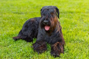 Domestic dog Black Giant Schnauzer breedの写真素材 [FYI00755449]